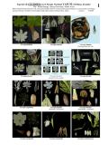 Cecropia del Parque Nacional Yasuní , Amazonía - Field Guides